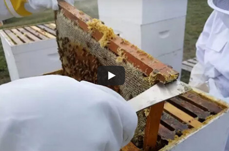 Preview Image for video - 2021 Iowa Italian Carniolan Saskatraz Packaged Honey Bees Nucs Free Shipping Queen Bees For Sale