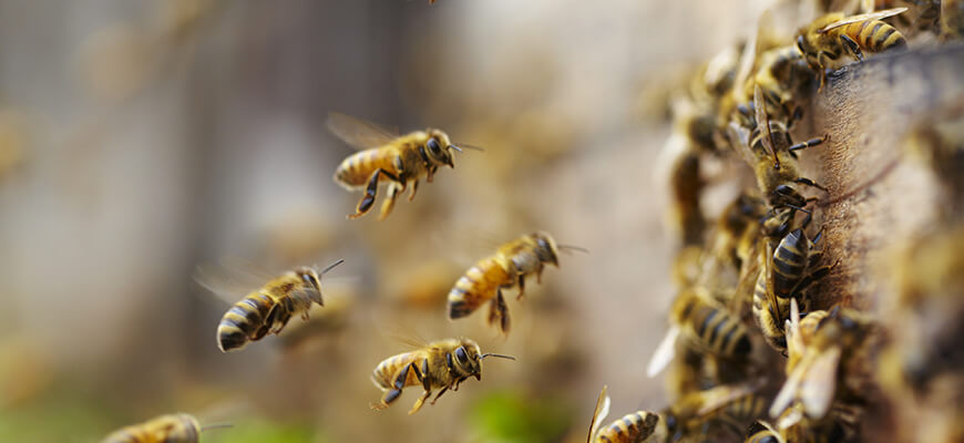 Image for Post - Interesting Facts About Honey Bees