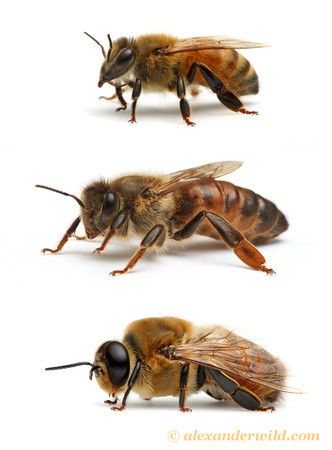 Image for Post - The Three Types of Bees That Make Up The Honey Bee Colony