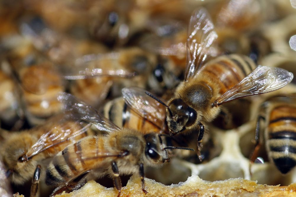 Image for Post - Shipped Packages of Honey Bees For Sale Information