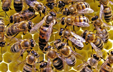 Image for Live Honey Bees For Sale In The United States